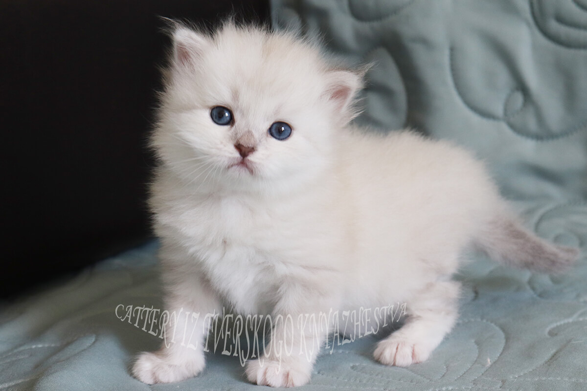 Available silver colorpoint kitten - beautiful girl seal silver tabby point color with sweet character