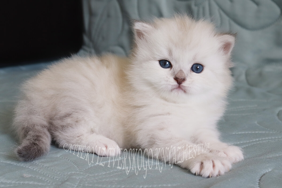 For breeding and show - very beautiful Siberian Neva masquerade kitten of seal silver tabby point color