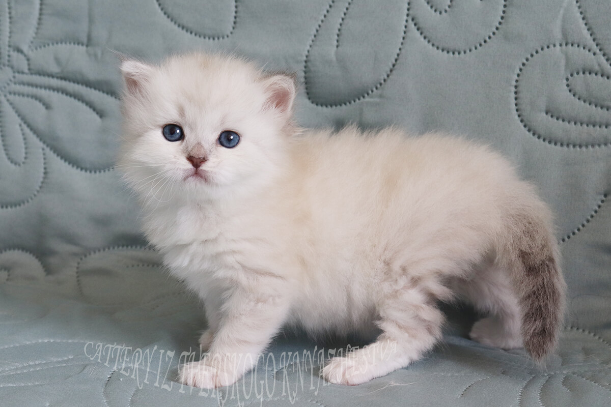 For sale silver Neva masquerade kitten - charming girl with excellent silver