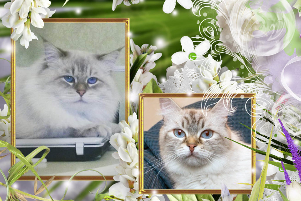 Available Siberian Neva masquerade kittens for sale from cattery in Russia