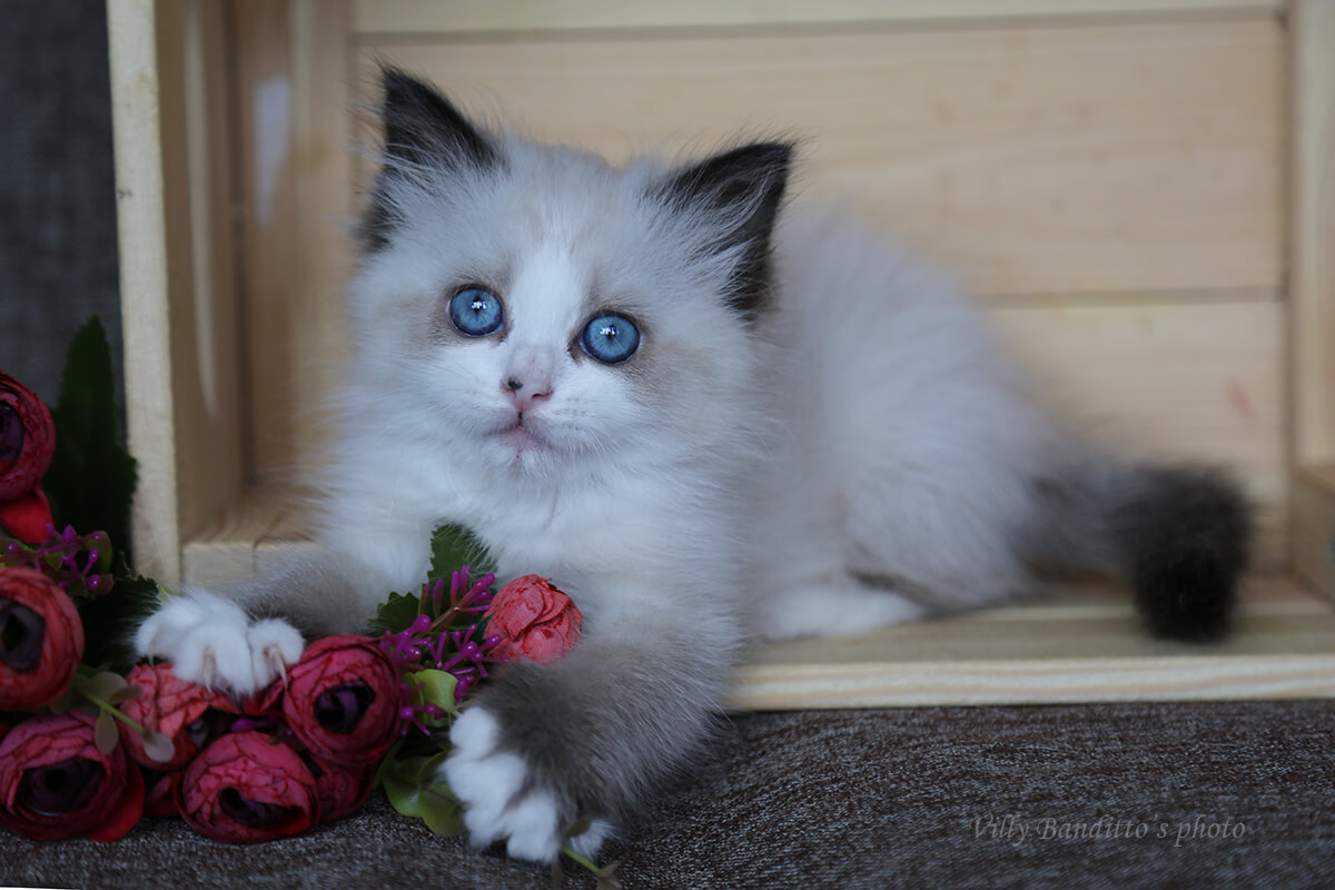 kittens with blue eyes