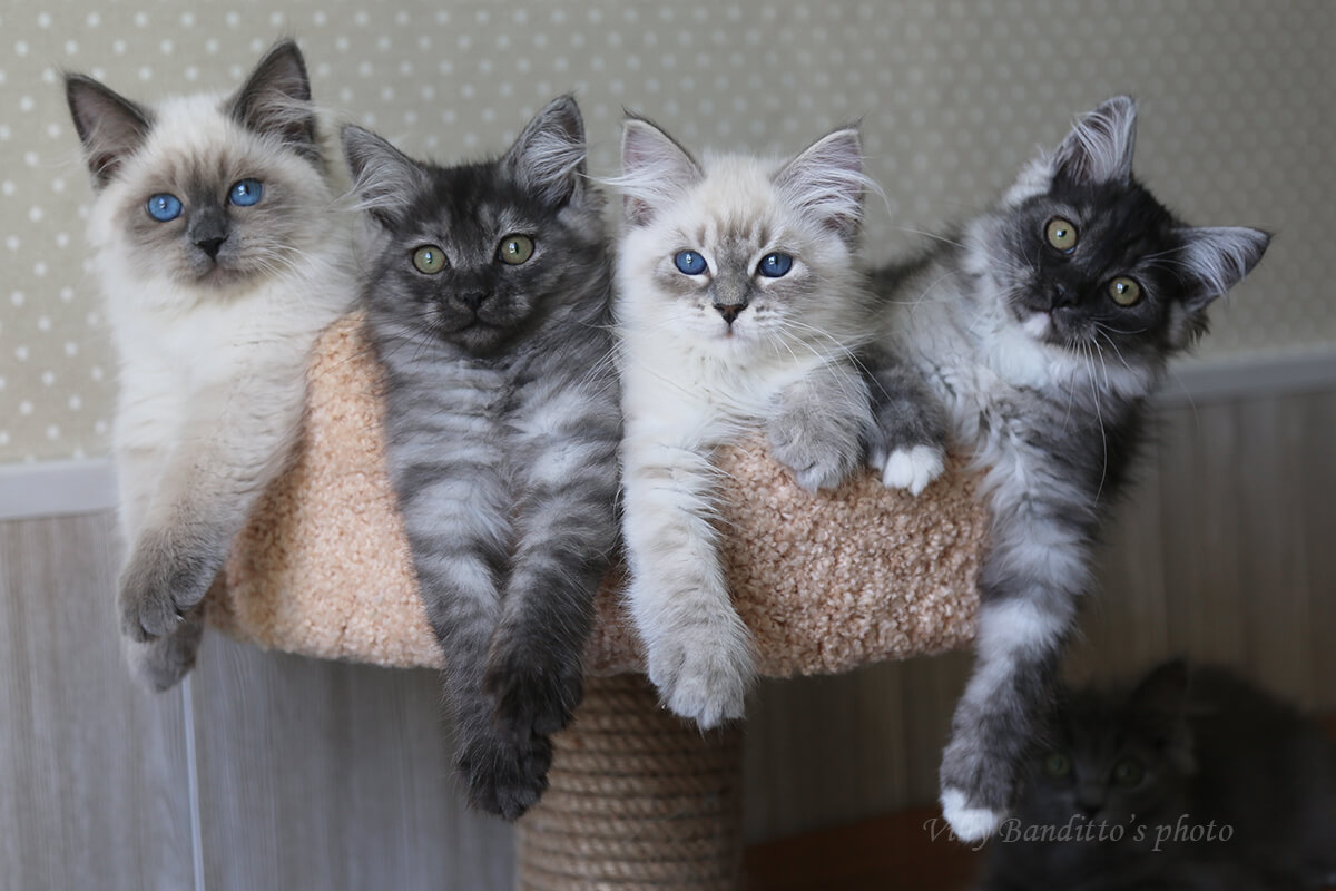 Available Siberian kittens from Siberian cattery in Russia - blue-eyed Neva masquerade kittens and green-eyed traditional kittens of different colors including solid, smoke, golden and silver