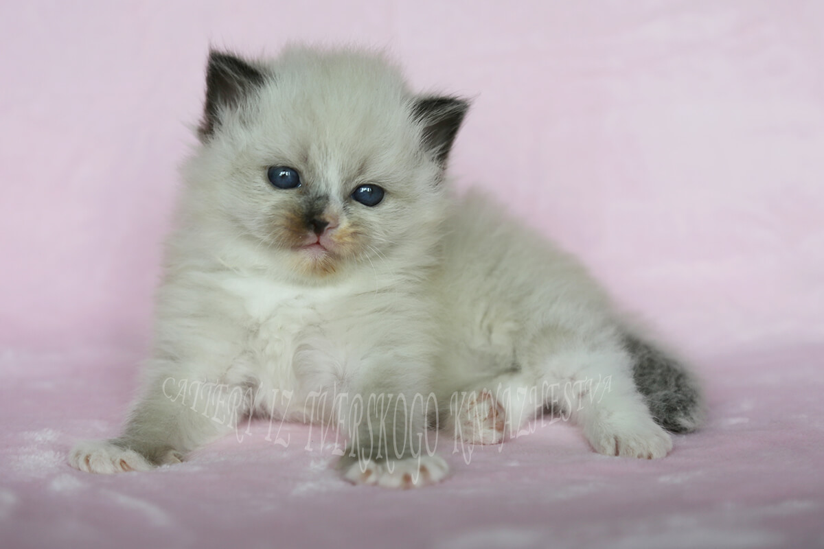 Available Siberian kitten for breeding and show - charming blue-eyed Neva masquerade Princess in classic siamese seal point color with white. Very communicative and friendly baby