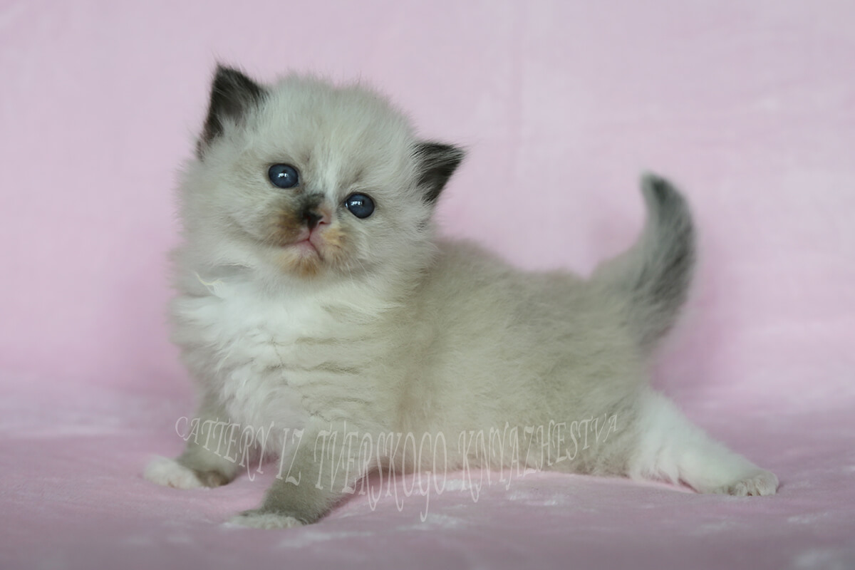Available Neva masquerade kitten - cute girl of solid - seal point - color with white