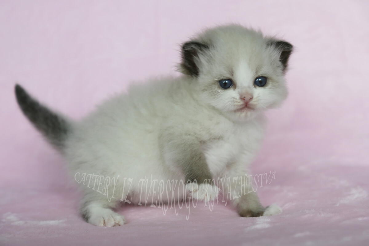 Siberian kitten for sale - very cute female of seal point color with white. Friendly and affectionate little baby adore to play and purr