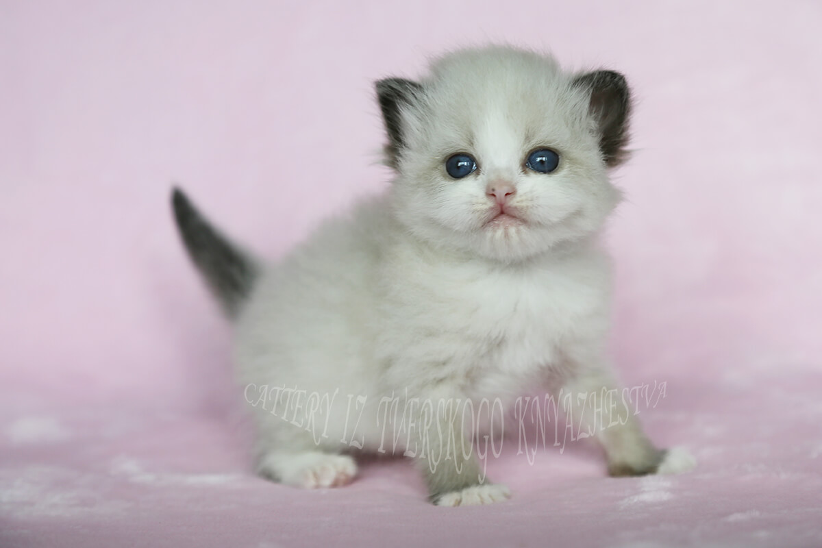 Available Siberian kitten - sweet seal point bicolor young lady. With very symmetrical patterns of white on her face - very beautiful