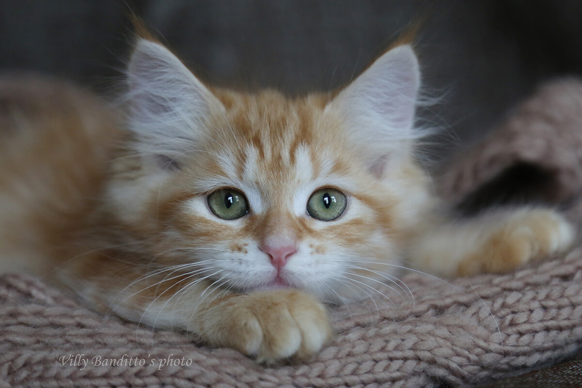 Available orange Siberian kitten - a boy of red tabby color and green eyes