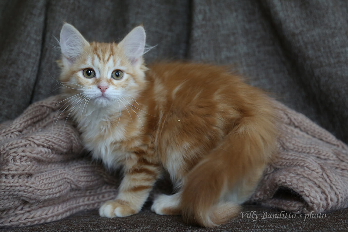 Siberian kitten for sale - ginger young gentleman with green eyes and excellent manners