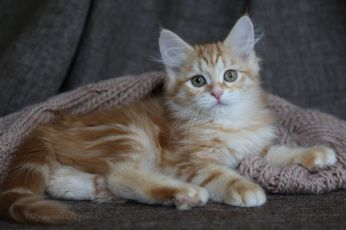 Available Siberian kitten for breeding - cute red tabby boy with green eyes and very sweet character