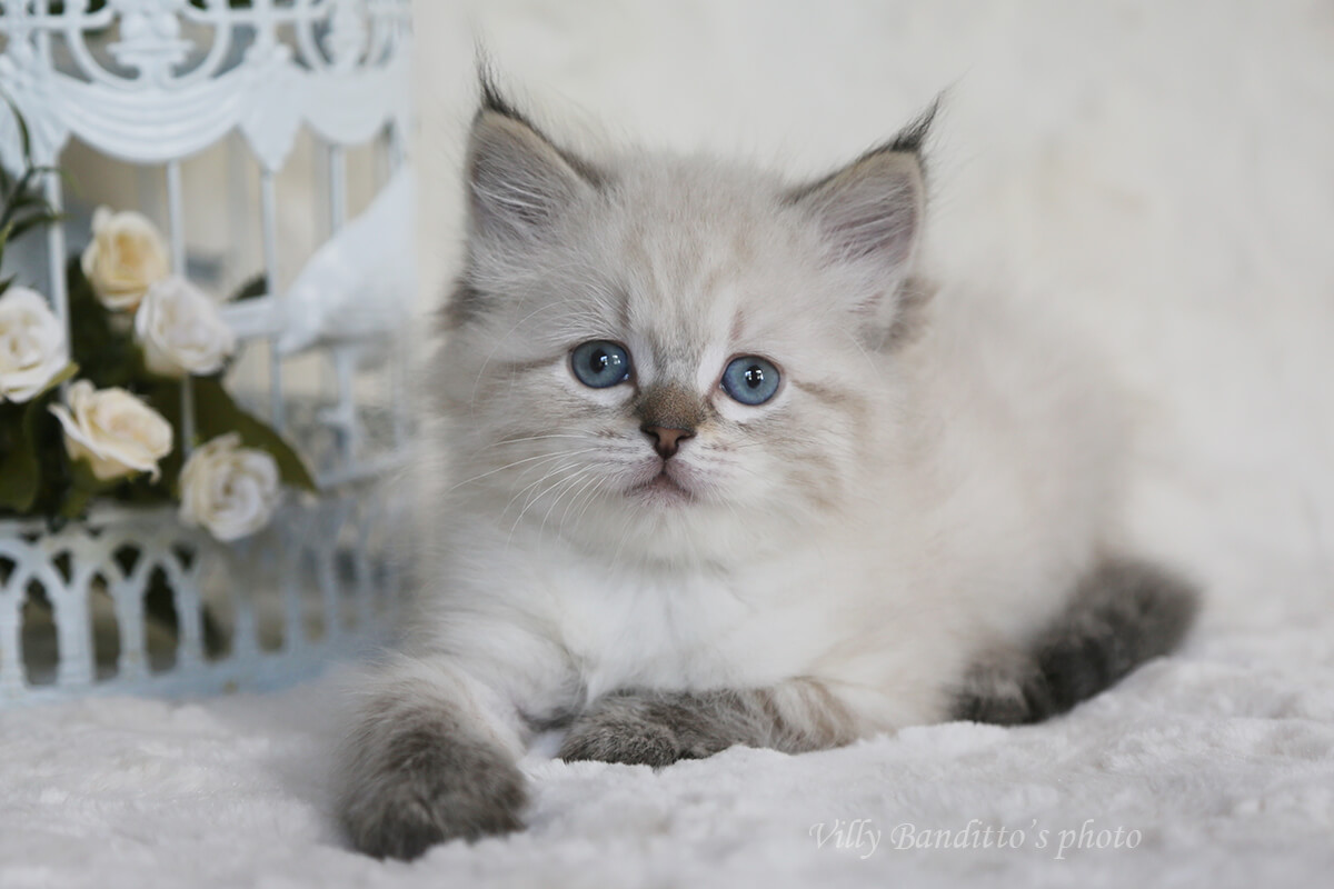 Available Siberian kitten for breeding and show - blue-eyed seal tabby point Neva masquerade girl with affectionate and friendly character