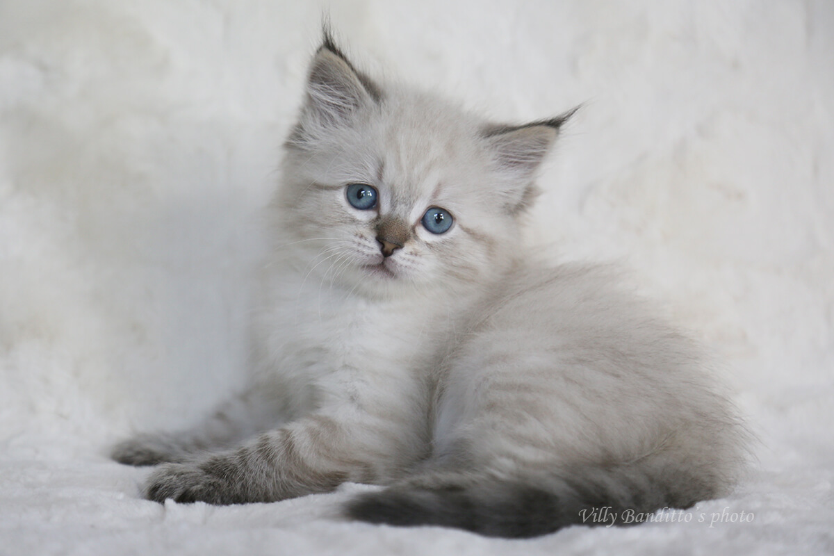 Available for sale charming Neva masquerade kitten - sweet girl with beautiful tassels on the ears