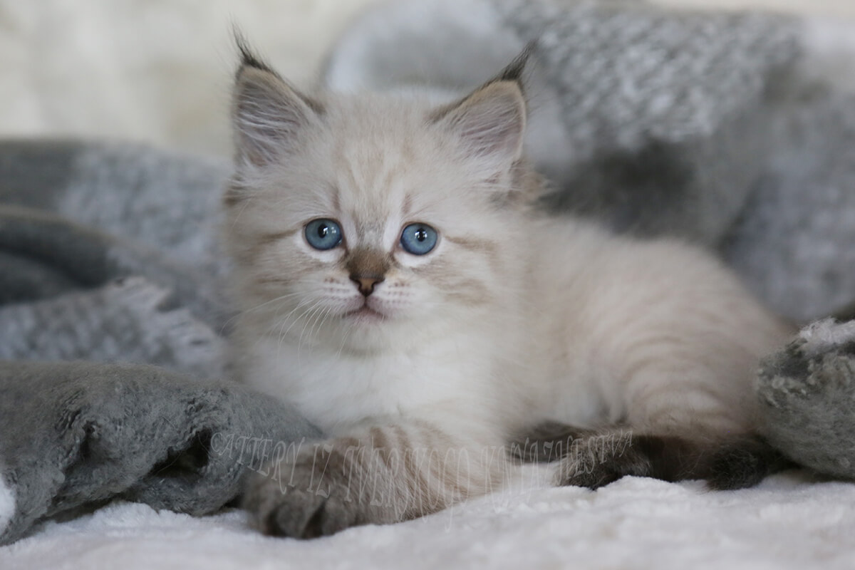 Siberian kitten for sale - affectionate and friendly blue-eyed seal tabby point girl with excellent texture of coat and cute tassels on the ears