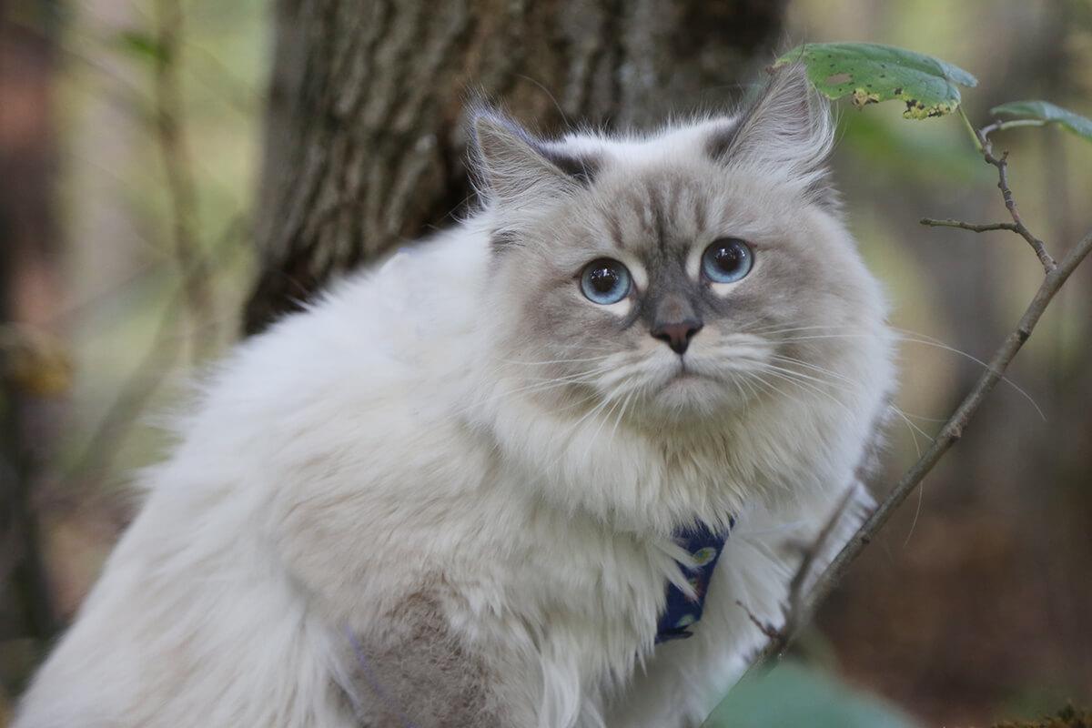 FAVORITKA IZ TVERSKOGO KNYAZHESTVA , the most beautiful cat breed
