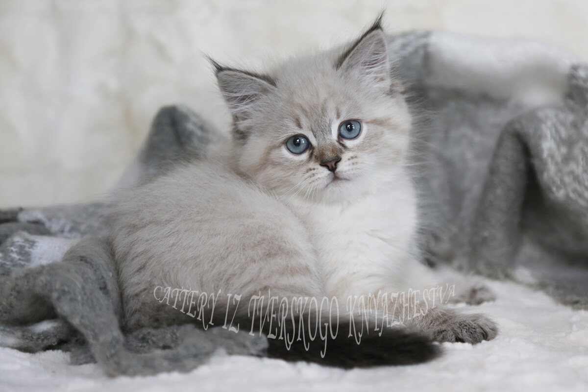 Siberian kitten for sale - charming blue-eyed Neva masquerade girl with sweet character