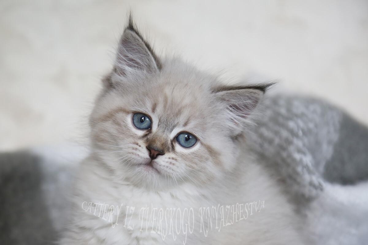 Neva masquerade kitten for sale - sweet charming girl of seal tabby color