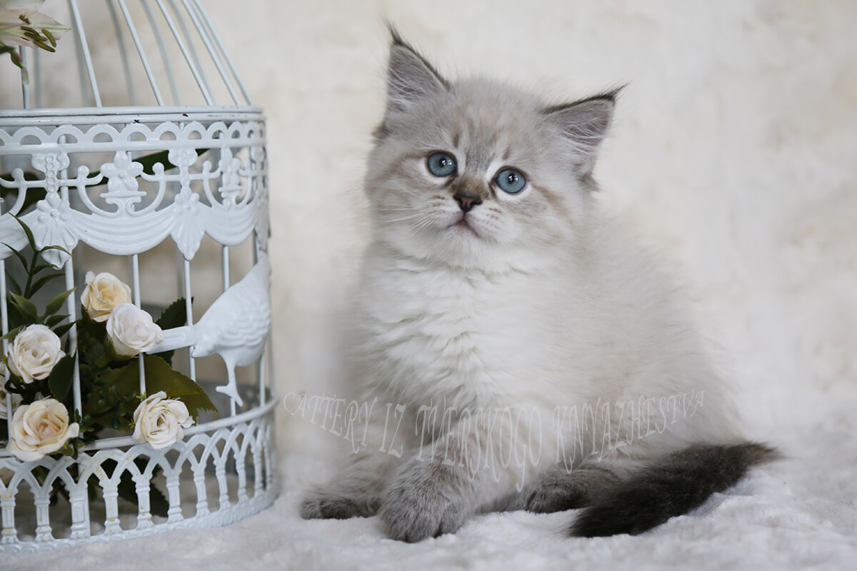 Beautiful Siberian kitten for sale - charming blue-eyed seal tabby point Neva masquerade girl