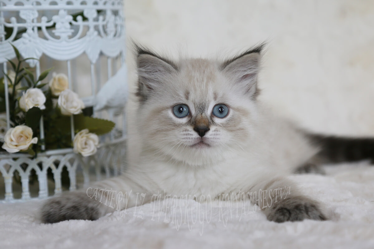 Beautiful Siberian kitten for sale - seal tabby point Neva masquerade boy with strong and powerful body, excellent texture of coat and lovely character