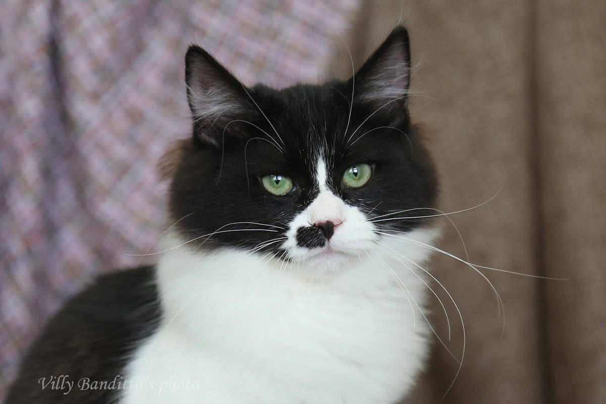 the eyes of Siberian cats