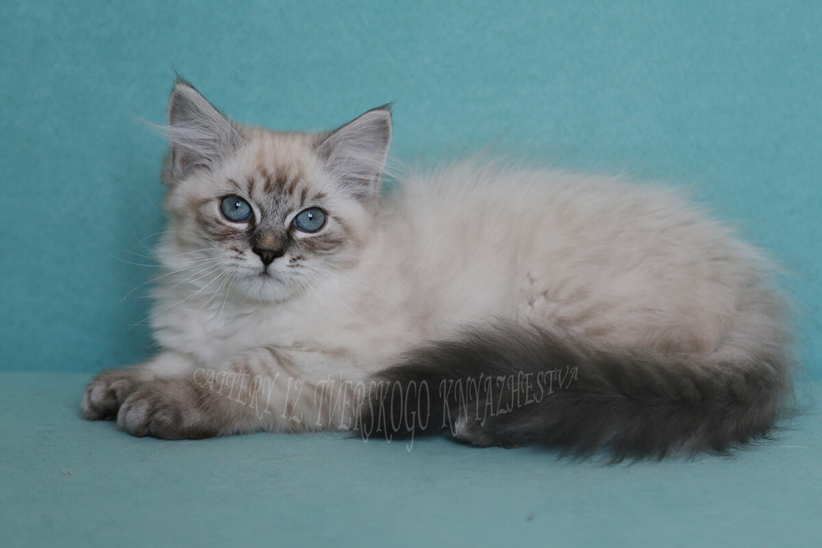 Available Neva masquerade kitten with excellent silver and fantastic shade of blue eyes
