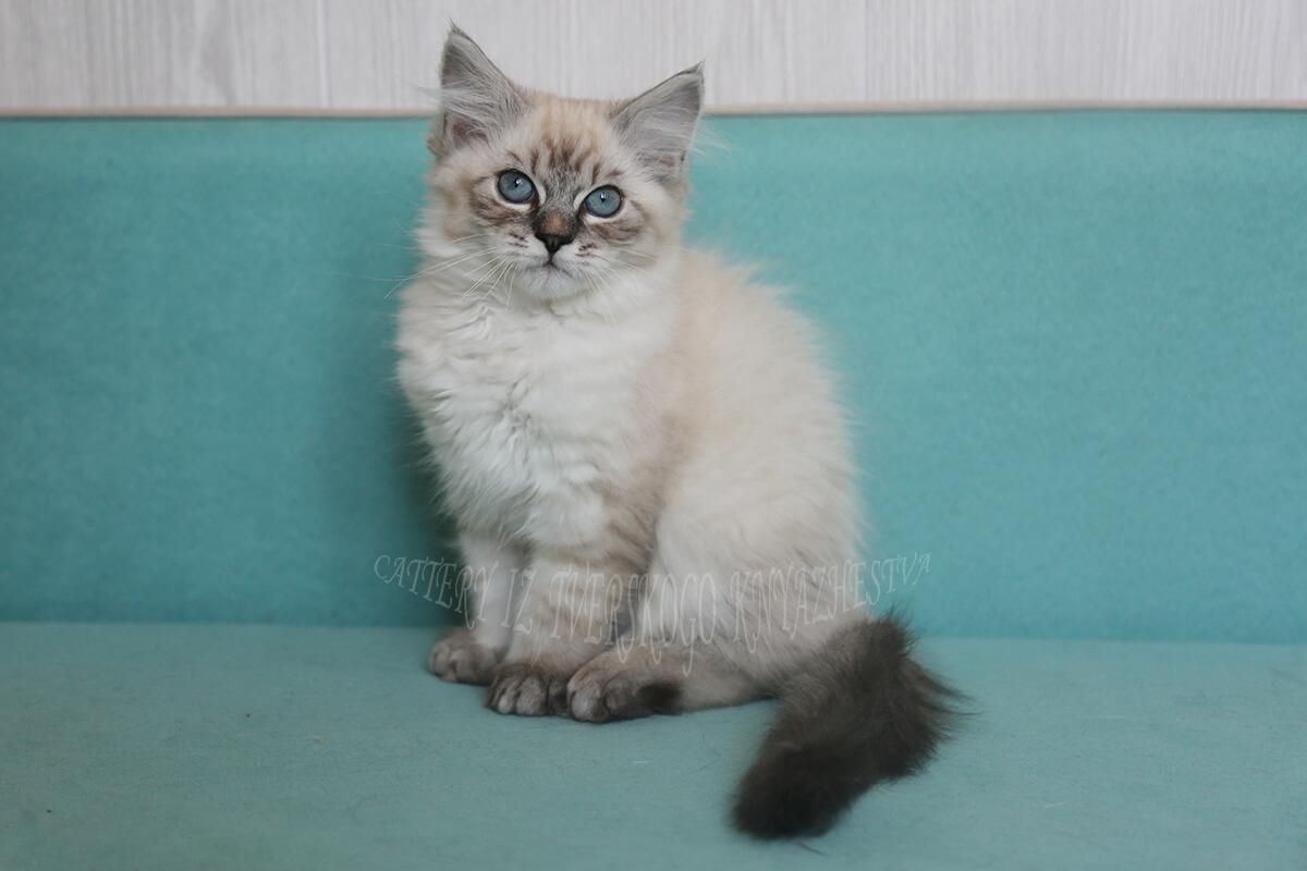 silver Neva masquerade kitten