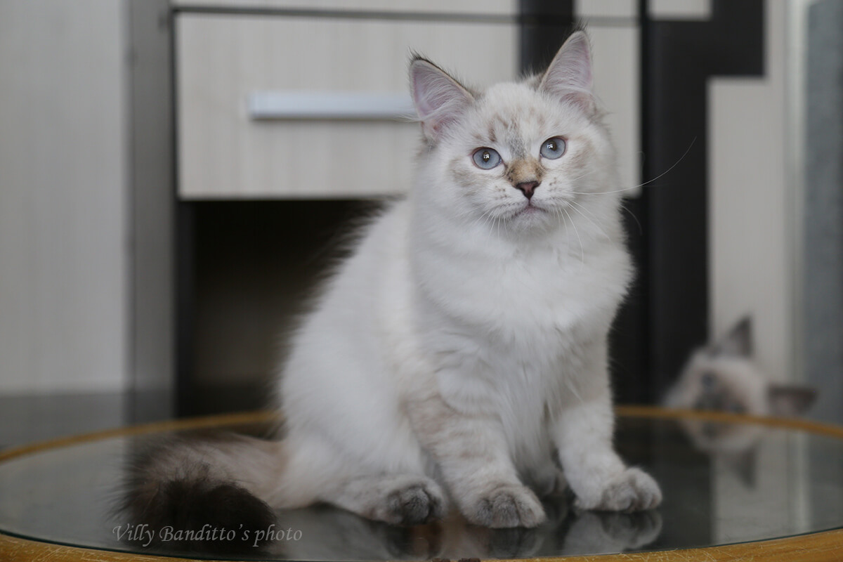 Siberian colorpoint for sale - amazing Siberian Neva masquerade girl of tortie tabby color