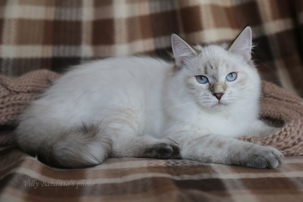 Seal tortie tabby point Siberian kitten for sale - beautiful Neva masquerade young lady in excellent breed type and with incredibly sweet character . Good choice for breeding and also as a Pet.