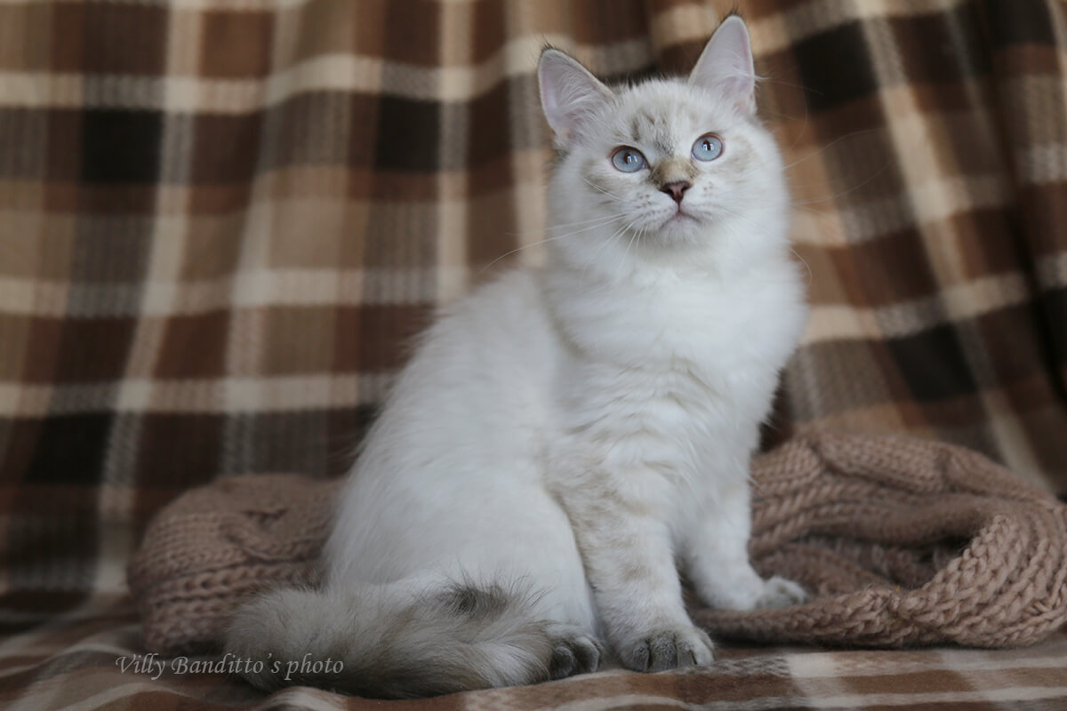 Available Siberian kitten for breeding - charming Neva masquerade girl with affectionate and friendly nature, communicative and playful. Tortie tabby color point