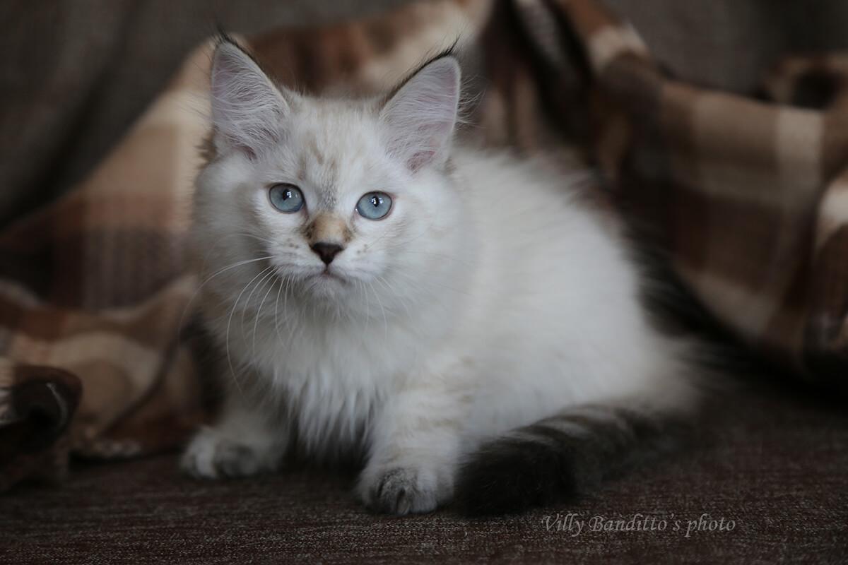 Purebred kittens