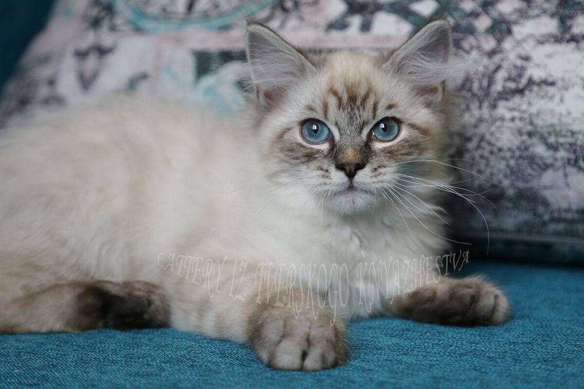 Silver Siberian kitten for sale - cute blue-eyed Neva masquerade boy of seal silver tabby point color