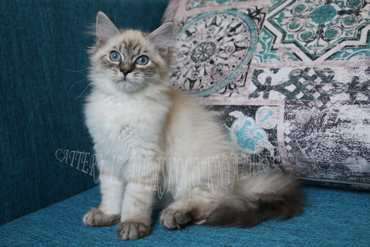 Available Neva masquerade kitten from cattery Iz Tverskogo Knyazhestva - charming young Siberian Prince with beautiful blue eyes and just fantastic silver