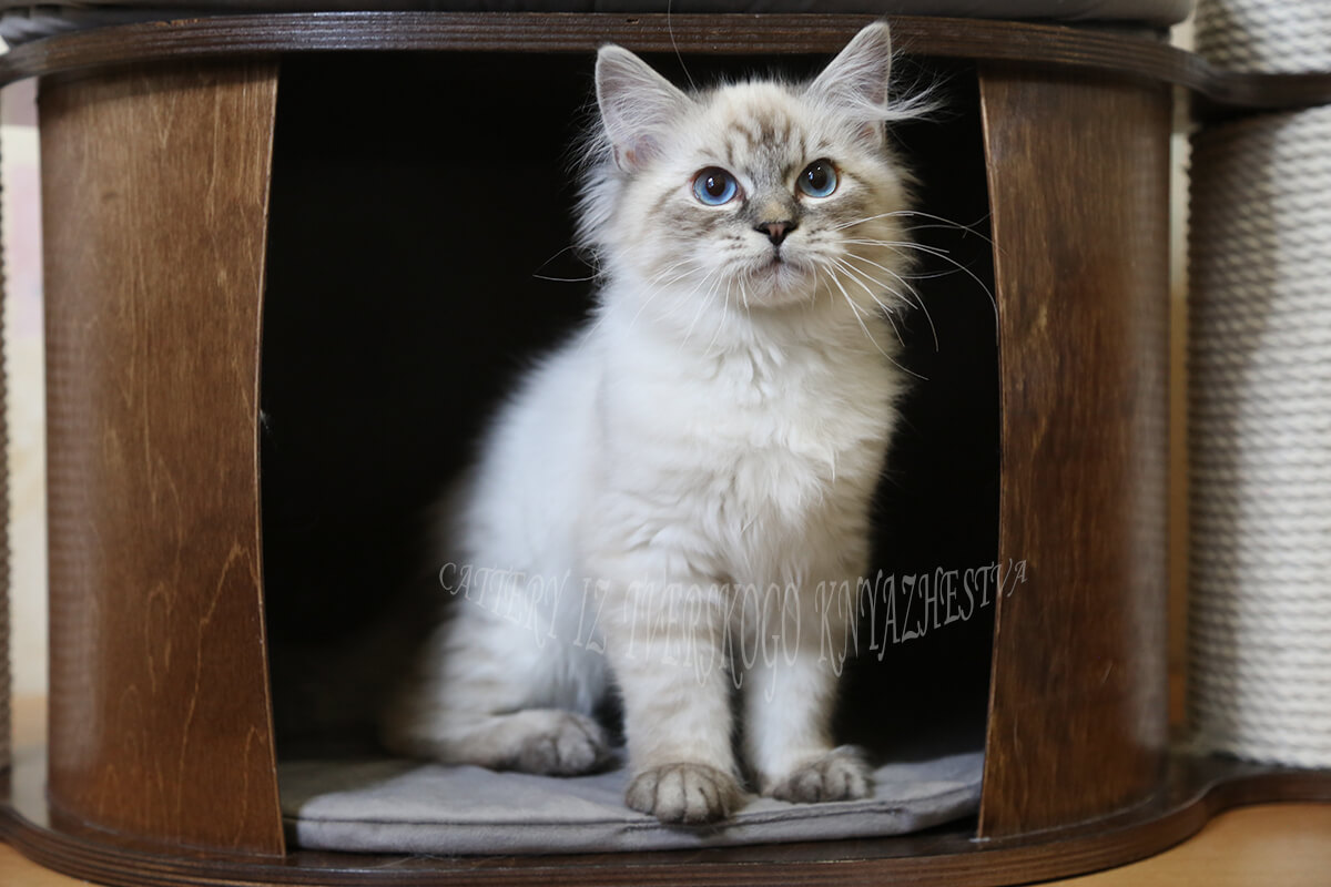Incredibly affectionate and communicative Neva masquerade kitten for sale - charming blue-eyed boy of seal silver tabby point color