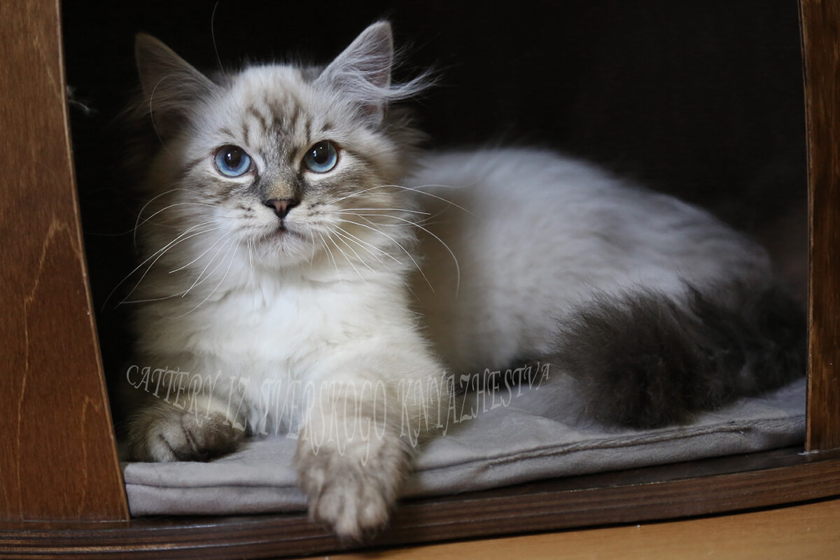 Siberian colorpoint kitten for sale - very cute blue-eyed Neva masquerade boy with sweet character and great silver