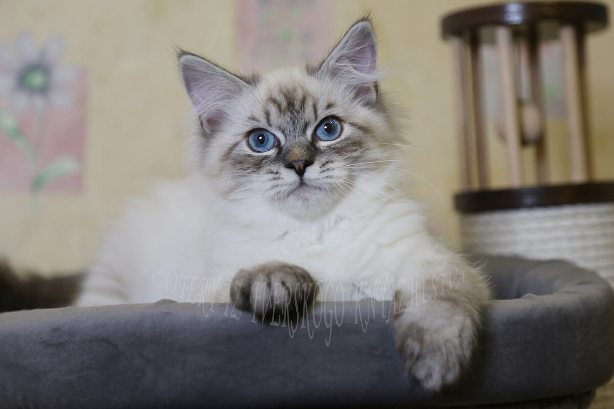 Available Siberian kitten for breeding and show - beautiful Neva masquerade boy with excellent silver and fantastic shade of blue eyes