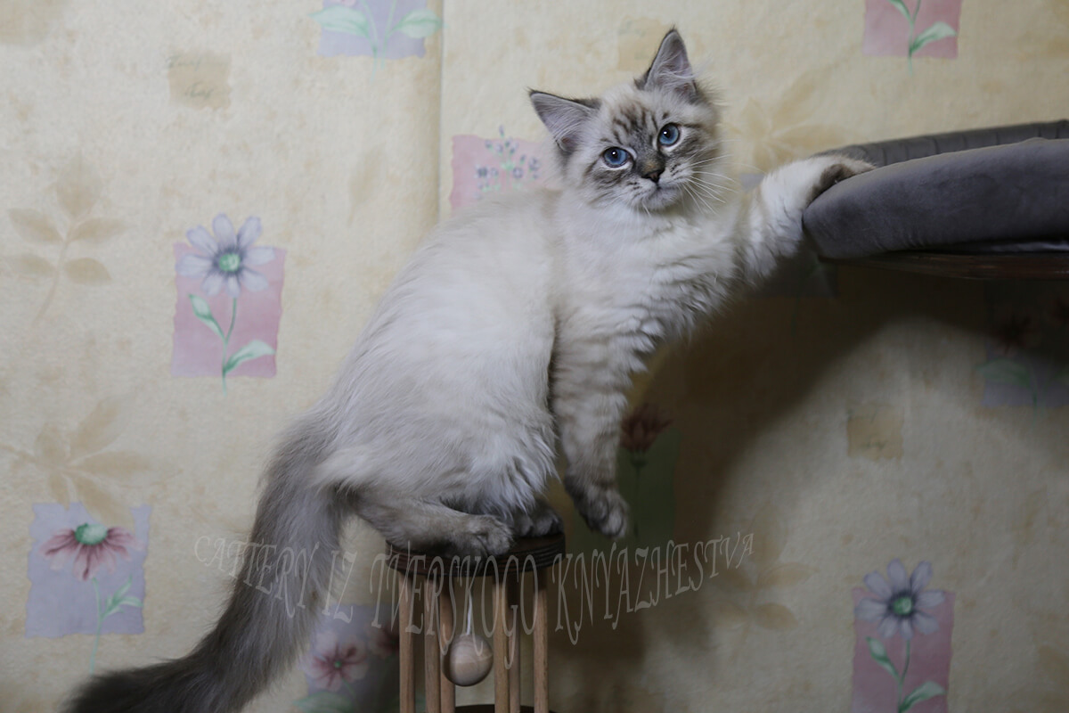 Beautiful Neva masquerade seal silver tabby point kitten for sale - charming boy with incredibly blue color of eyes