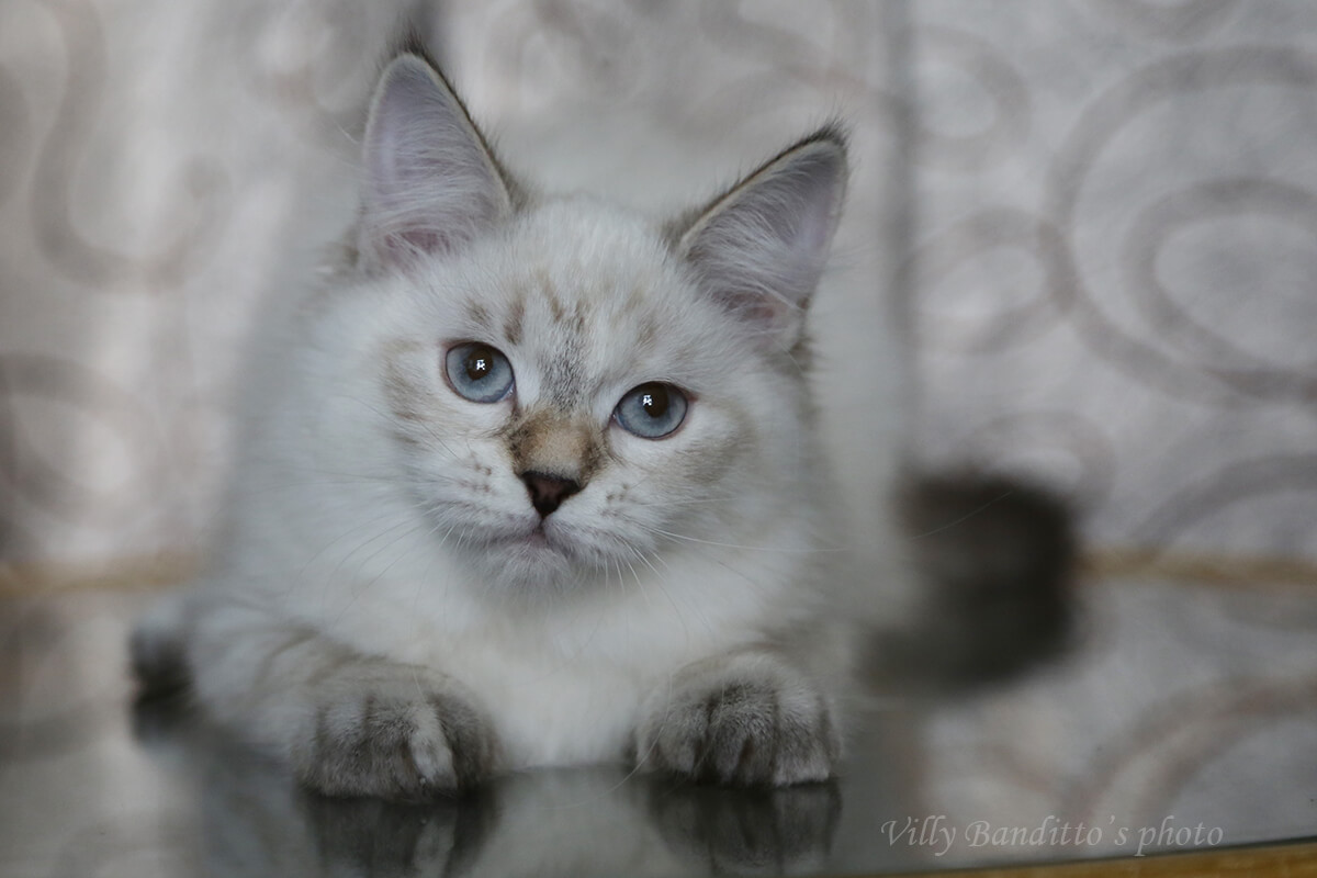 Available Siberian kitten - charming seal tortie tabby point Neva masquerade girl with very sweet character