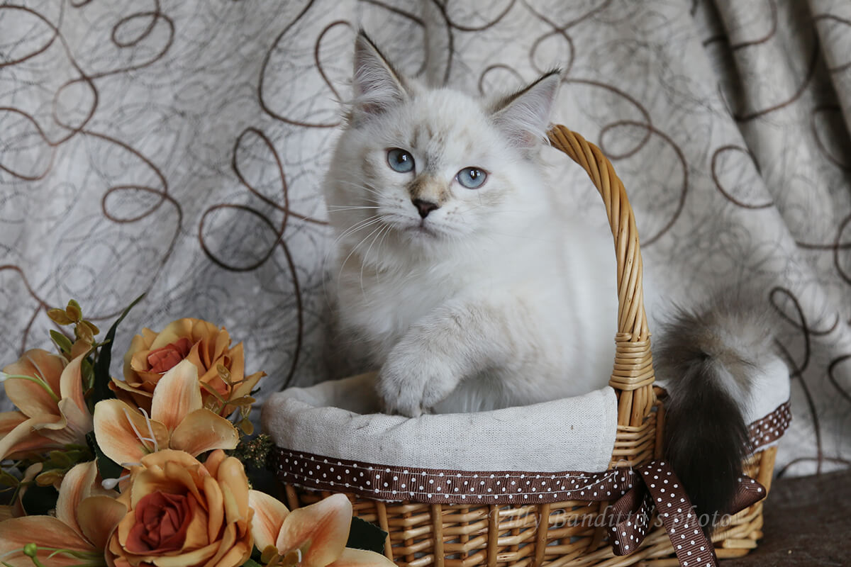 Neva masquerade kitten for sale - sweet charming tortie baby-girl with blue eyes