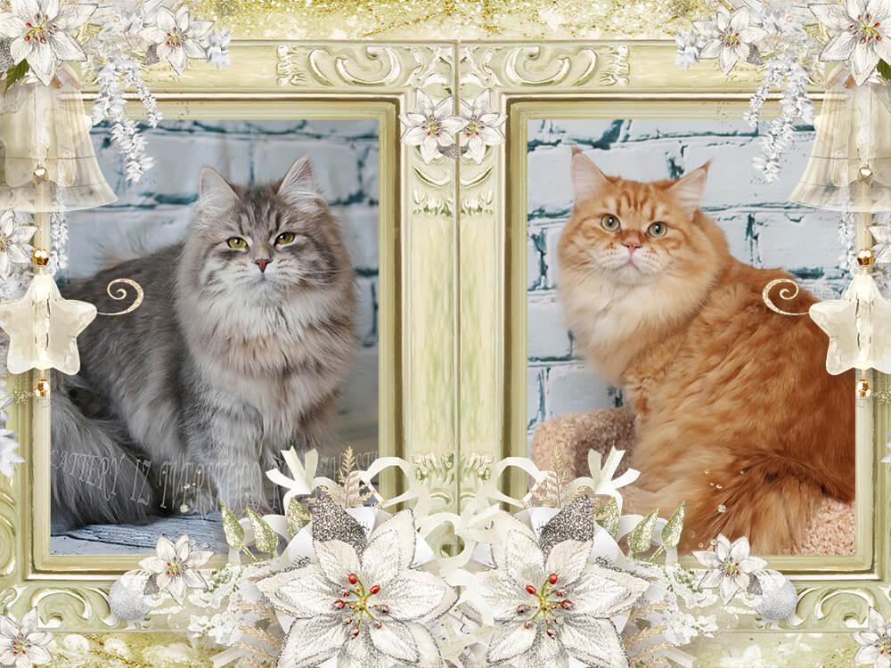 Siberian Neva masquerade kittens in Russia