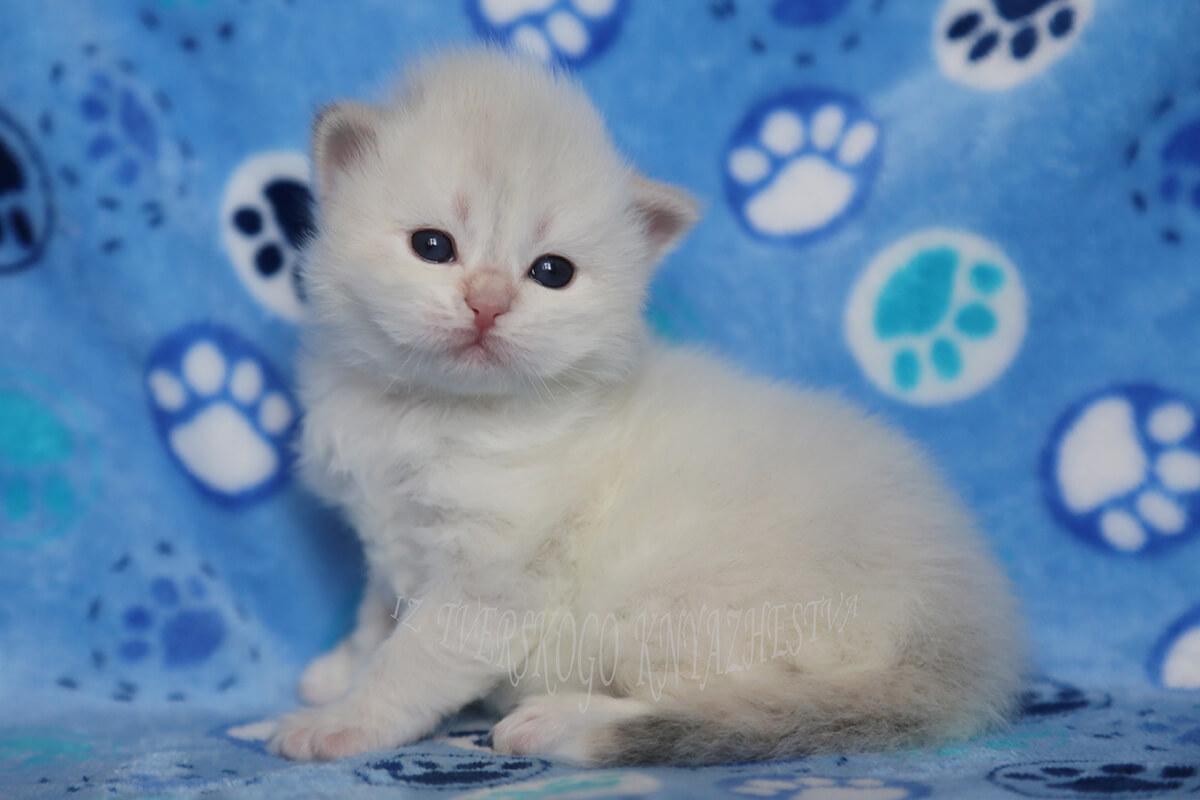 Available Siberian kitten for breeding - charming Neva masquerade girl with fantastic blue eyes