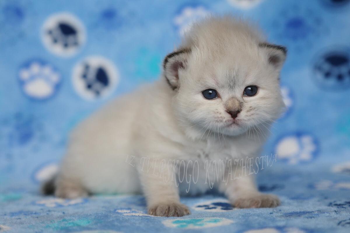 Neva masquerade kitten for sale from cattery Iz Tverskogo Knyazhestva - beautiful blue-eyed Siberian Princess, smart and tender