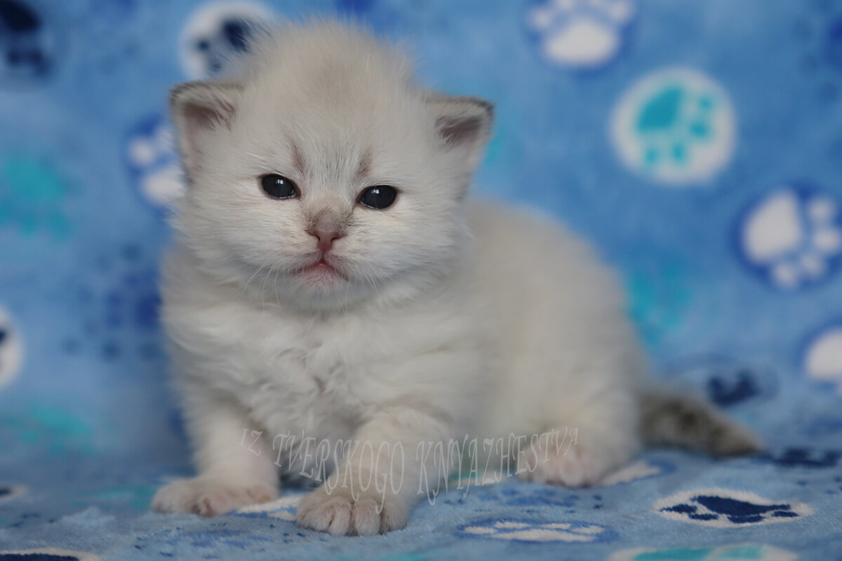 Available Siberian kitten from Siberian cattery in Russia - charming blue eyed Neva masquerade baby-girl for breeding and show