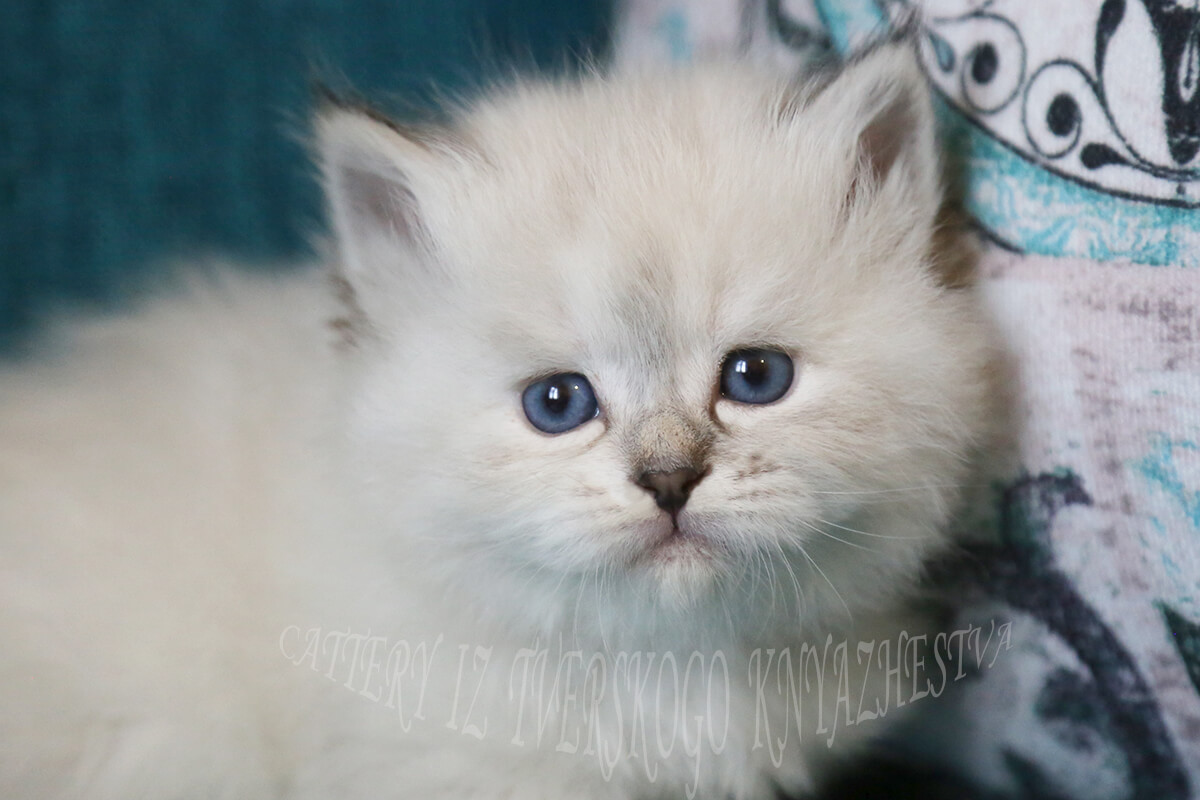For sale Siberian seal torbie point kitten - blue-eyed Neva masquerade girl with strong and powerful body and sweet character