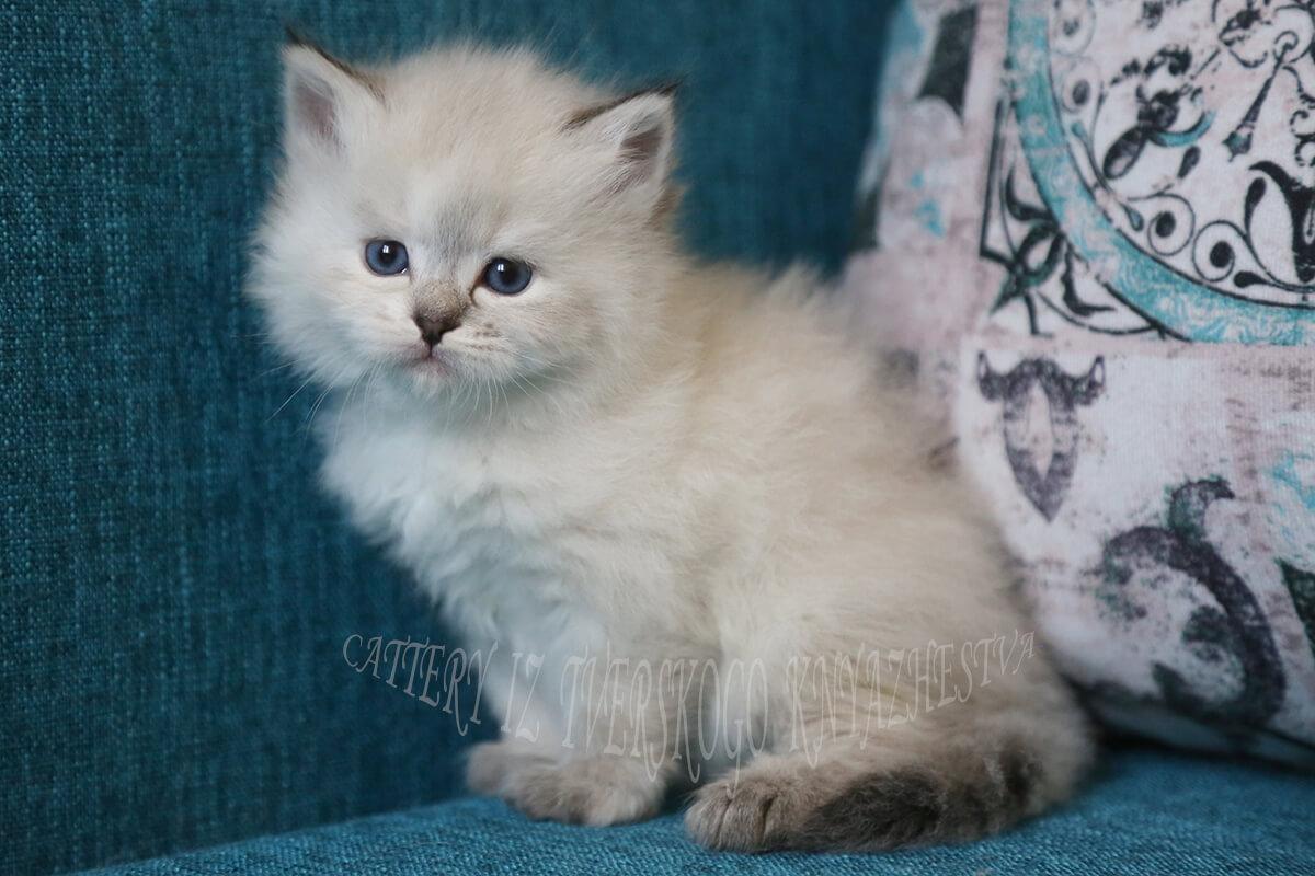 Neva masquerade kitten for sale from cattery