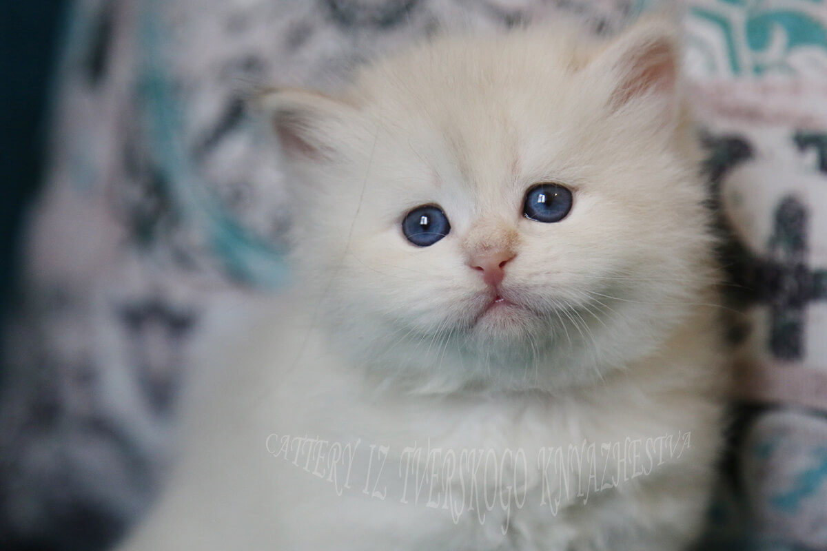 Incredibly beautiful young Siberian Neva masquerade kitten is available for sale - affectionate and cute baby-girl with rare color - blue golden torbie point