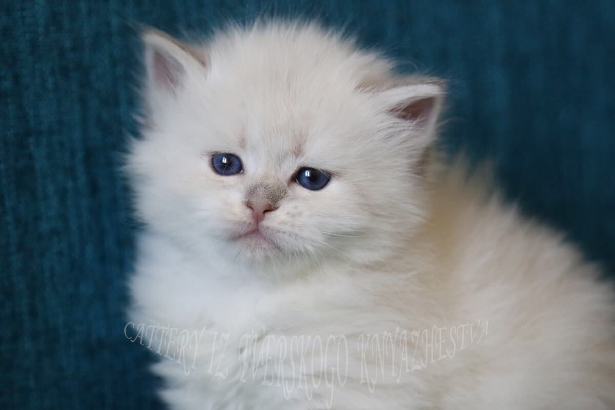 Amazing blue-eyed Neva masquerade kitten for sale of very rare golden tortie tabby point color