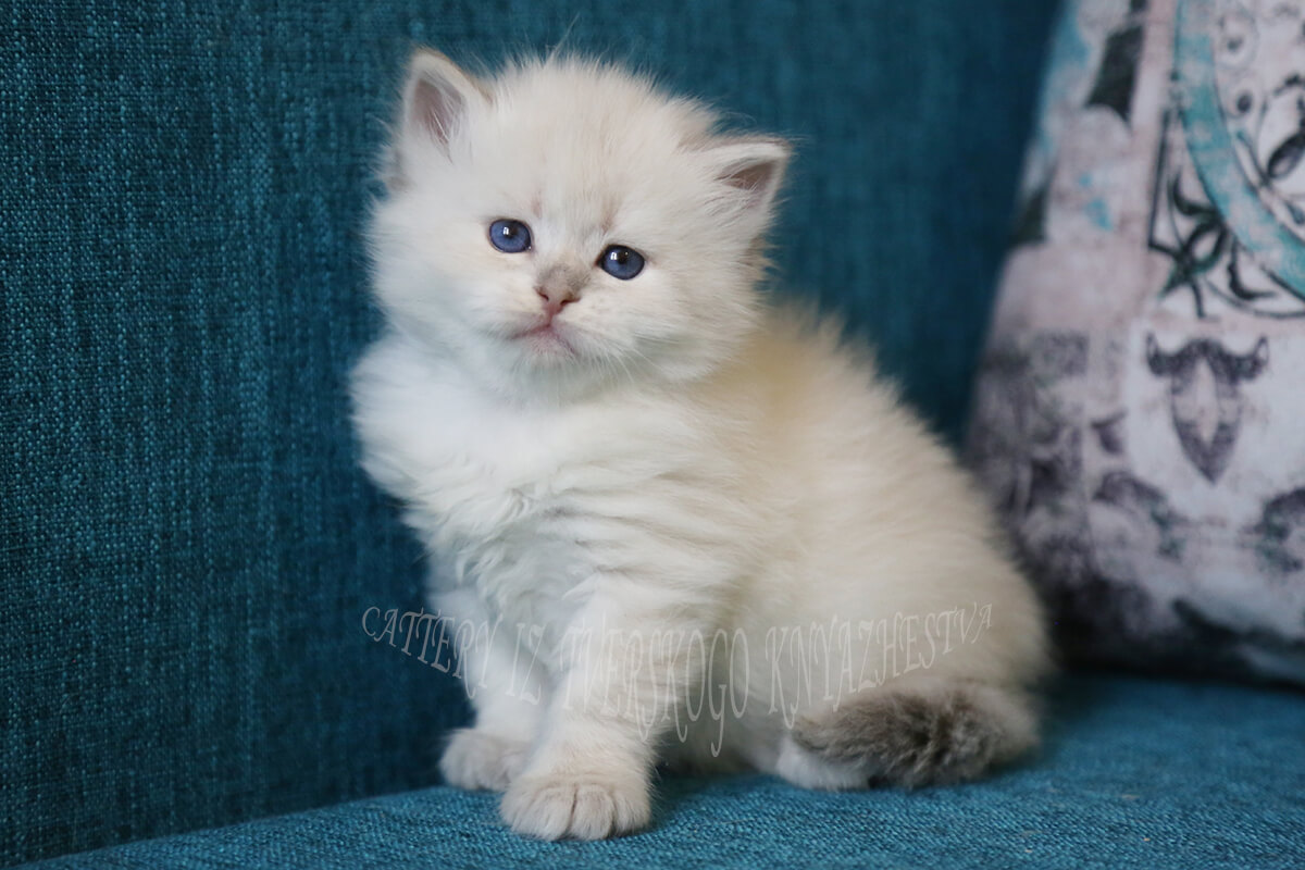 Available Siberian kitten of pretty rare for Neva masquerade cats golden torbie point. Sweet and beautiful young Siberian Princess with blue eyes