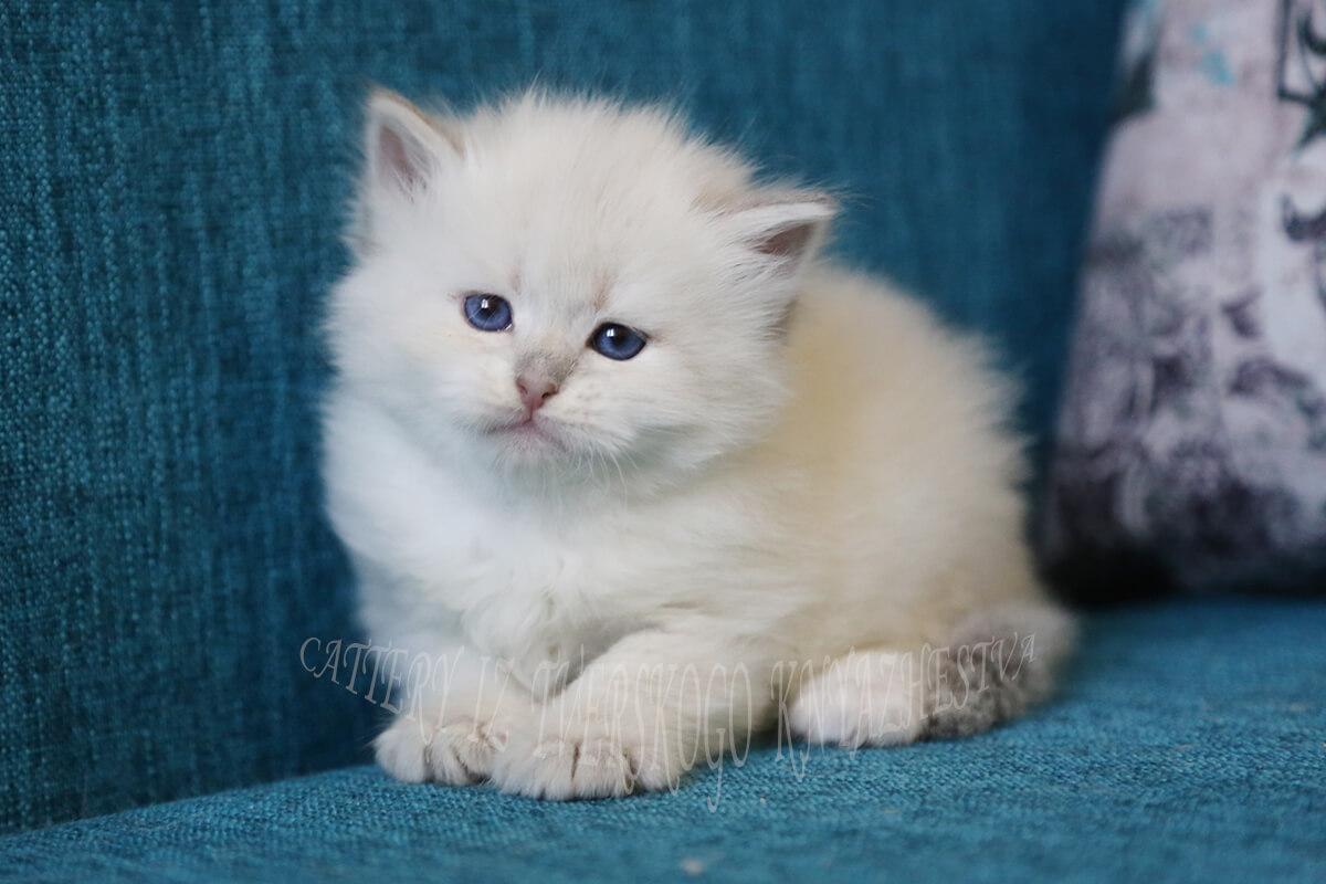 Golden Neva masquerade kitten for sale. Golden tortie tabby point charming Siberian baby-girl for show and breeding