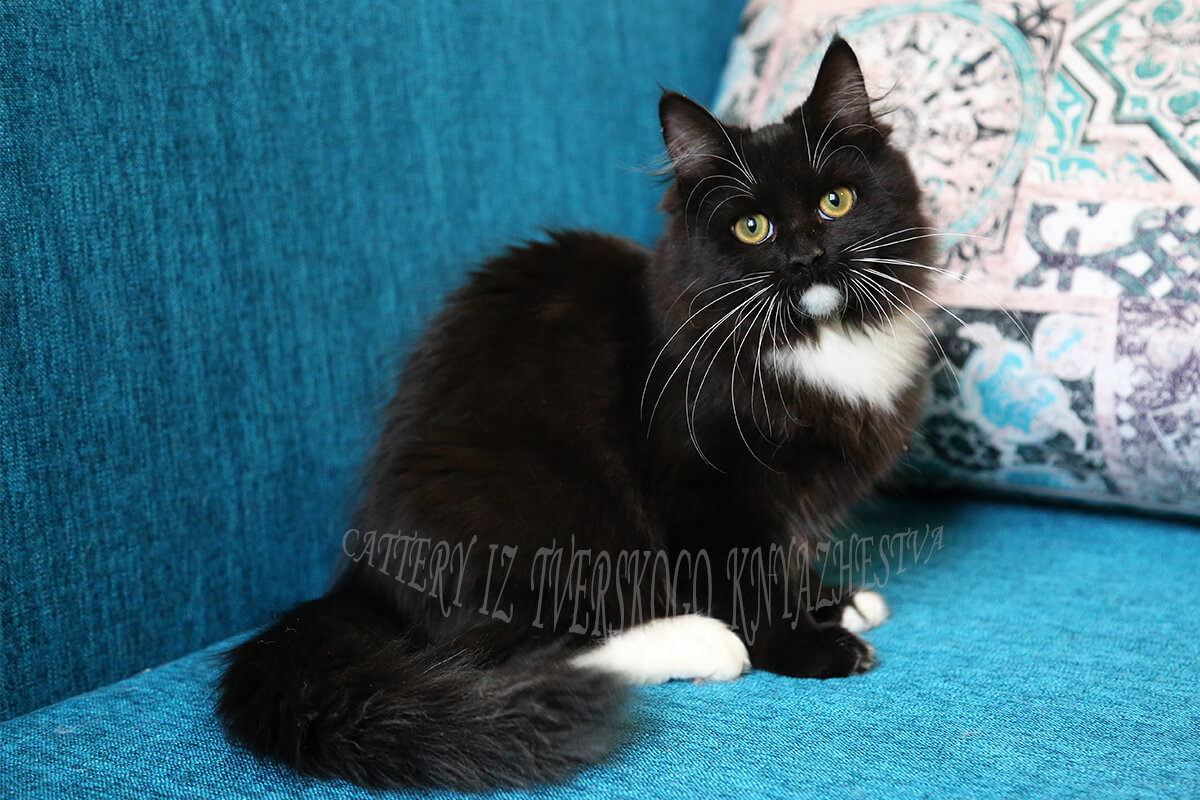 For sale Siberian kitten - affectionate and very communicative black solid with white young Princess in good breed type