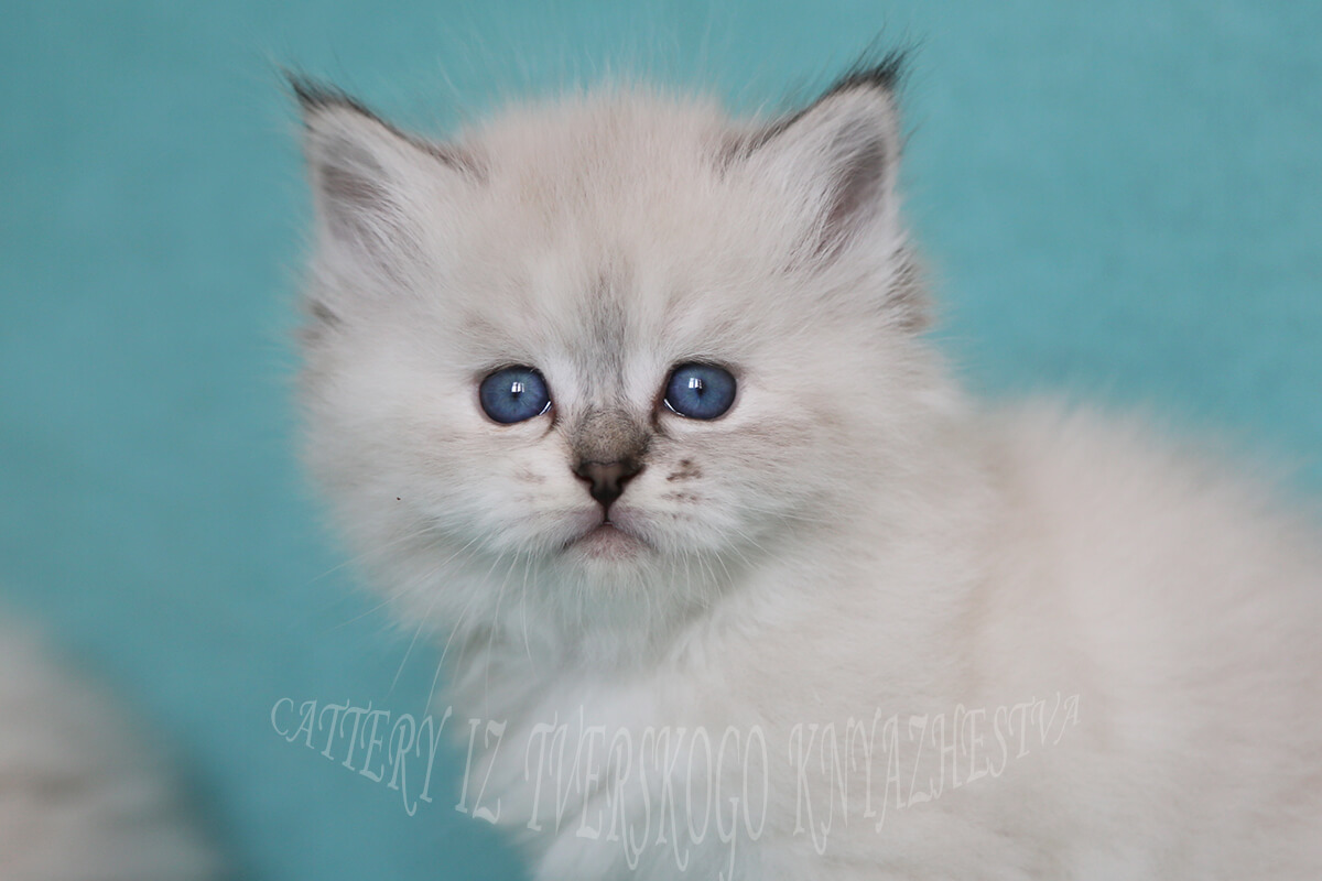 Available Siberian Neva masquerade kitten of seal tabby point color - charming very talkative young Princess with incredibly blue eyes and very communicative character