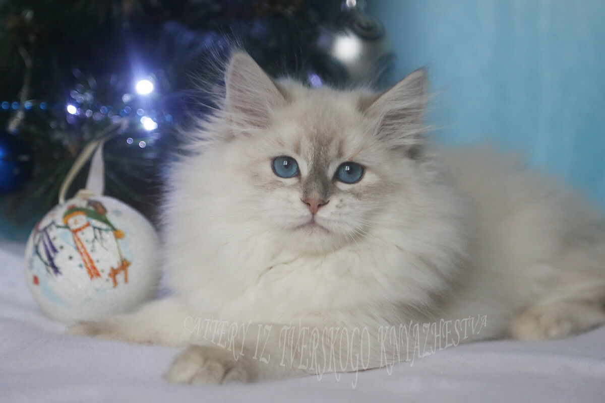 Amazing blue-eyed Neva masquerade blue golden tortie tabby point kitten for sale - charming girl with fantastic temperament, purring and cuddling young Siberian Lady