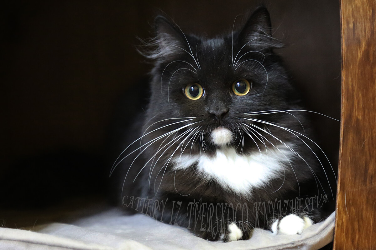 Siberian black cat with green eyes